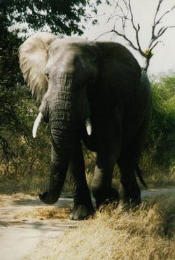 elefánt vadászat afrikai vadászat