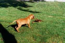 fácán vadászat kutyával