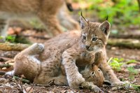 Two lynxes playing