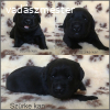 Fekete labrador retriever kiskutyák